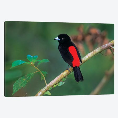 Crimson-Backed Tanager, Sarapiqui, Heredia Province, Costa Rica Canvas Print #PIM13915} by Panoramic Images Art Print