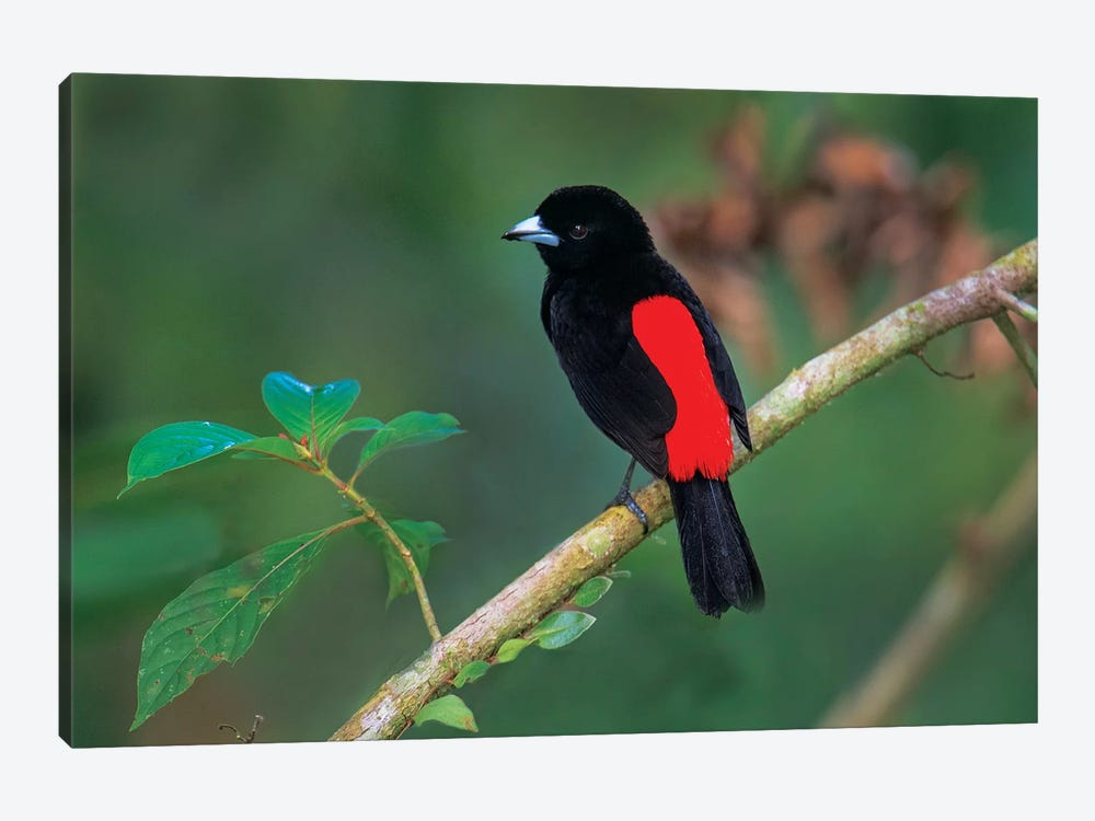 Crimson-Backed Tanager, Sarapiqui, Heredia Province, Costa Rica by Panoramic Images 1-piece Canvas Art