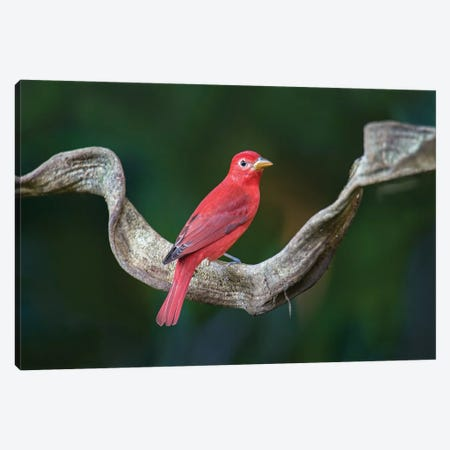 Summer Tanager, Sarapiqui, Heredia Province, Costa Rica Canvas Print #PIM13916} by Panoramic Images Canvas Print