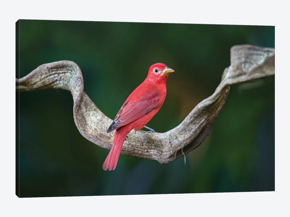 Summer Tanager, Sarapiqui, Heredia Province, Costa Rica by Panoramic Images 1-piece Art Print