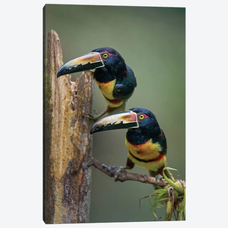 Collared Aracaris, Sarapiqui, Heredia Province, Costa Rica Canvas Print #PIM13917} by Panoramic Images Canvas Art Print