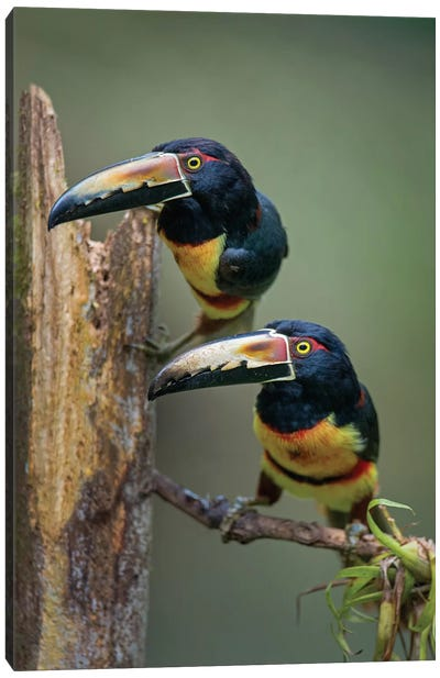 Collared Aracaris, Sarapiqui, Heredia Province, Costa Rica Canvas Art Print