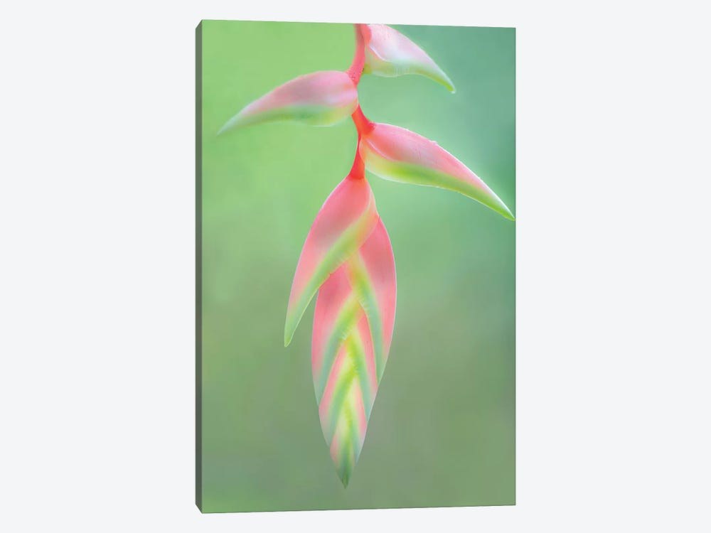 Heliconia Flower, Sarapiqui, Heredia Province, Costa Rica by Panoramic Images 1-piece Canvas Art Print