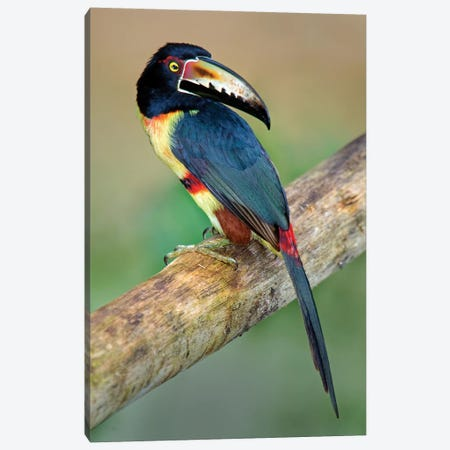Collared Aracari I, Sarapiqui, Heredia Province, Costa Rica Canvas Print #PIM13919} by Panoramic Images Canvas Wall Art