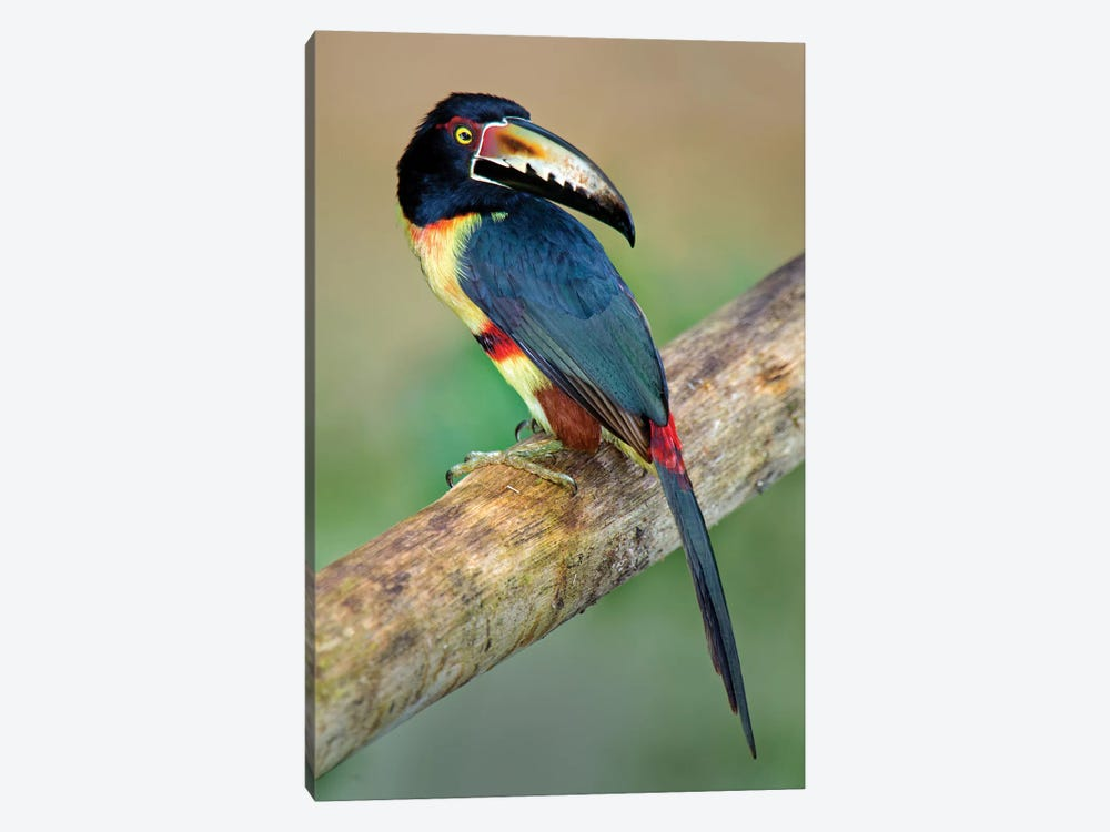 Collared Aracari I, Sarapiqui, Heredia Province, Costa Rica by Panoramic Images 1-piece Canvas Artwork
