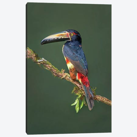 Collared Aracari II, Sarapiqui, Heredia Province, Costa Rica Canvas Print #PIM13920} by Panoramic Images Canvas Art Print