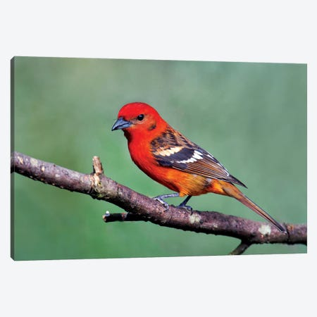 Flame-Colored Tanager I, Savegre, Puntarenas Province, Costa Rica Canvas Print #PIM13921} by Panoramic Images Art Print