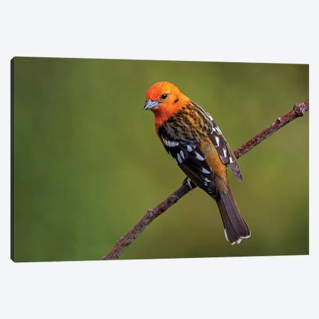 Flame-Colored Tanager II, Savegre, Puntarenas Province, Costa Rica Canvas Print #PIM13922} by Panoramic Images Canvas Print