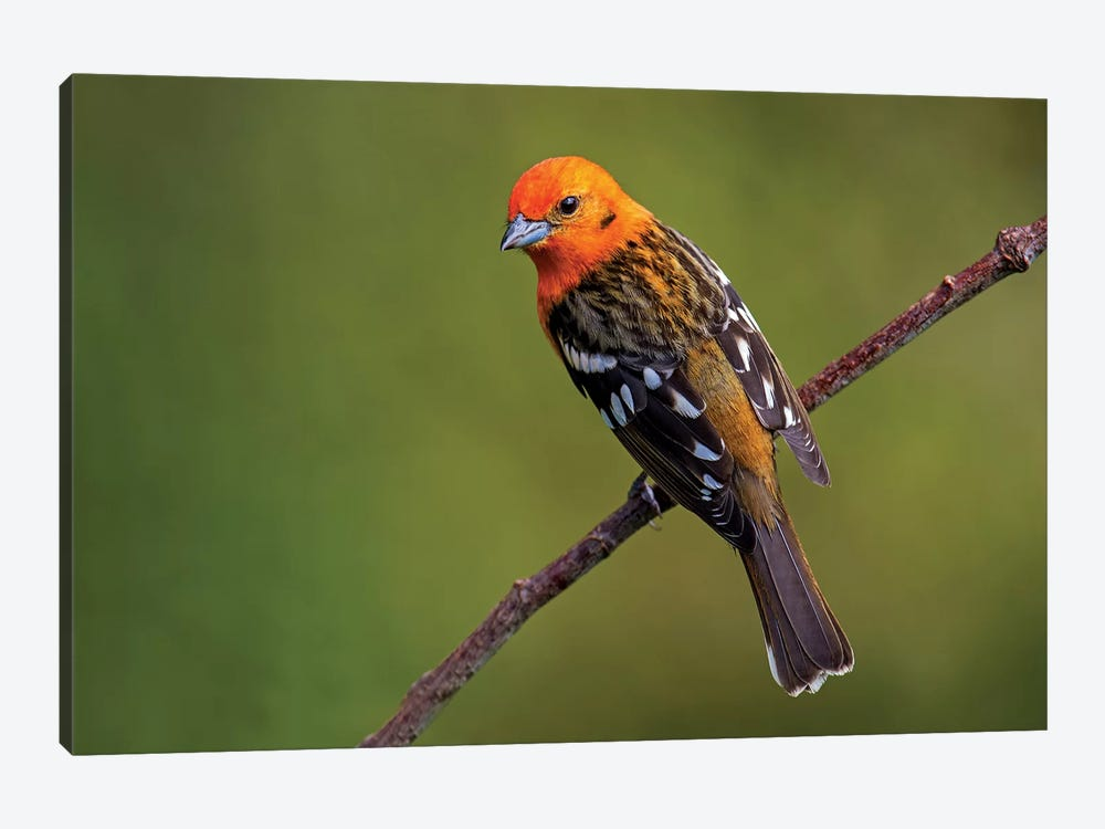 Flame-Colored Tanager II, Savegre, Puntarenas Province, Costa Rica by Panoramic Images 1-piece Canvas Artwork