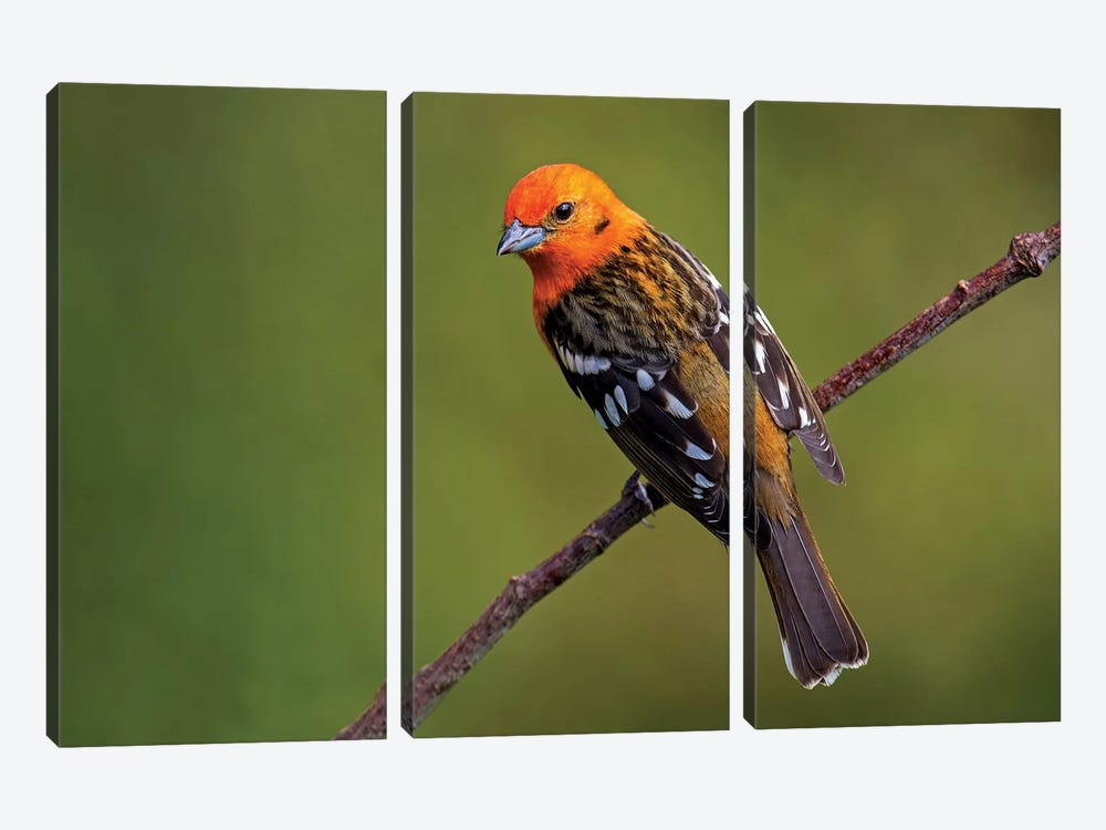 Flame-Colored Tanager II, Savegre, Puntarenas Province, Costa Rica by Panoramic Images 3-piece Canvas Art