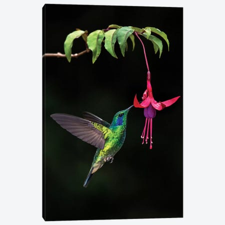Green Violetear, Savegre, Puntarenas Province, Costa Rica Canvas Print #PIM13923} by Panoramic Images Canvas Art Print