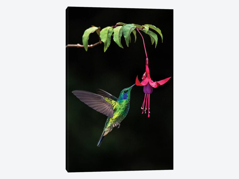 Green Violetear, Savegre, Puntarenas Province, Costa Rica by Panoramic Images 1-piece Canvas Print