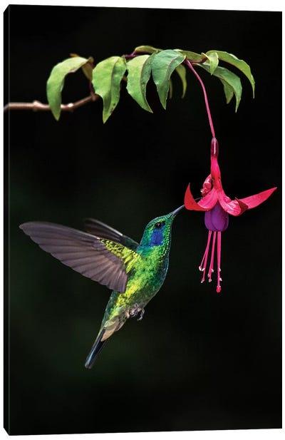 Green Violetear, Savegre, Puntarenas Province, Costa Rica Canvas Art Print