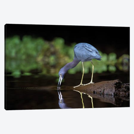 Little Blue Heron, Tortuguero, Limon Province, Costa Rica Canvas Print #PIM13924} by Panoramic Images Canvas Art