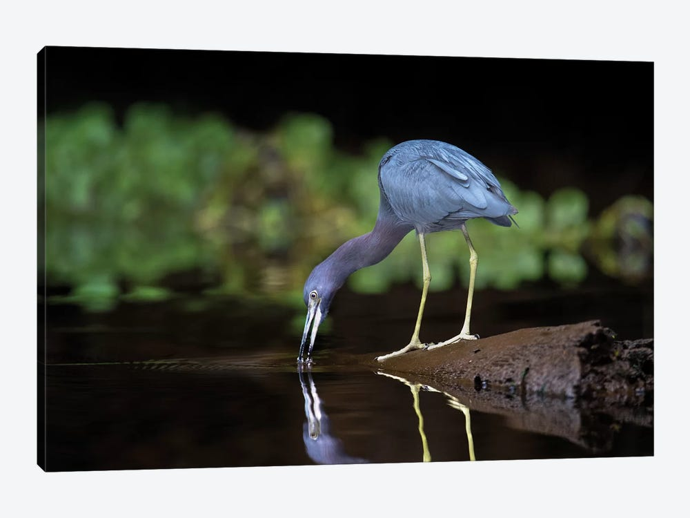Little Blue Heron, Tortuguero, Limon Province, Costa Rica by Panoramic Images 1-piece Canvas Artwork
