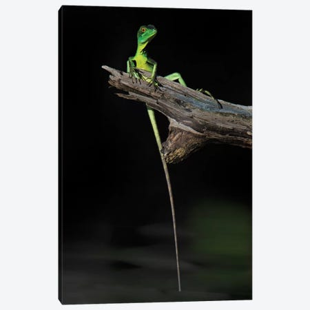 Plumed Basilisk, Tortuguero, Limon Province, Costa Rica Canvas Print #PIM13925} by Panoramic Images Canvas Art