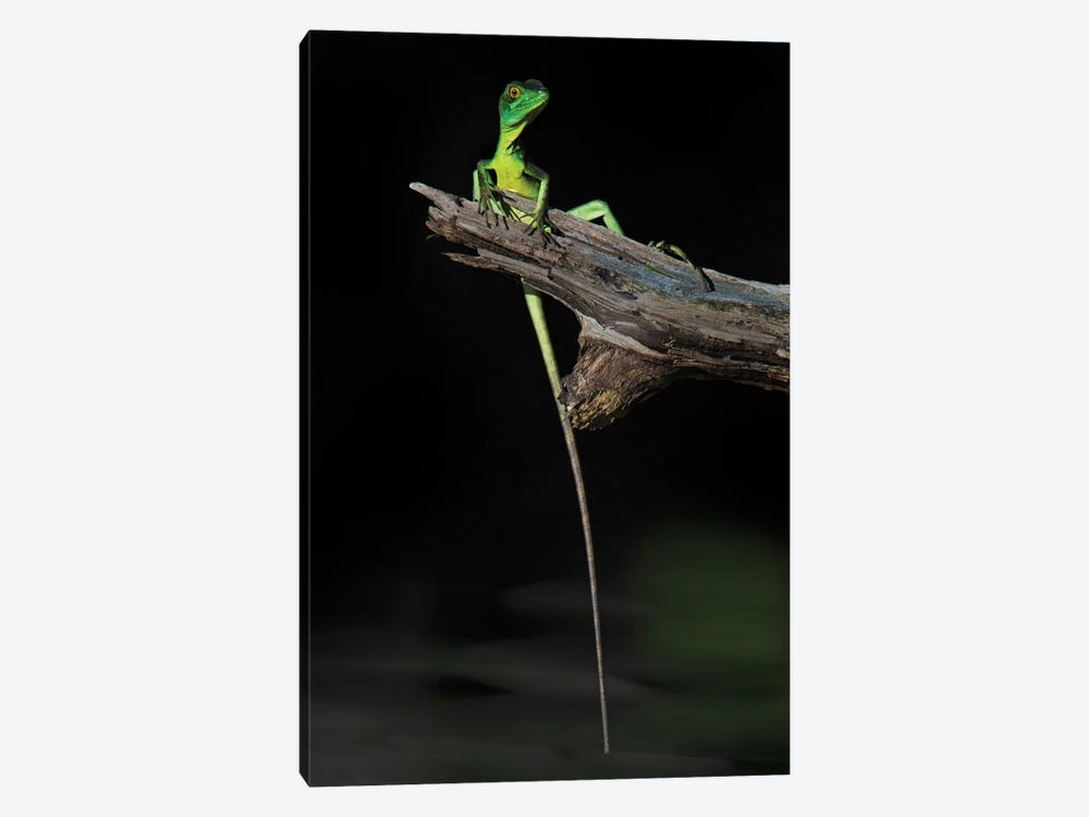 Plumed Basilisk, Tortuguero, Limon Province, Costa Rica by Panoramic Images 1-piece Canvas Art Print