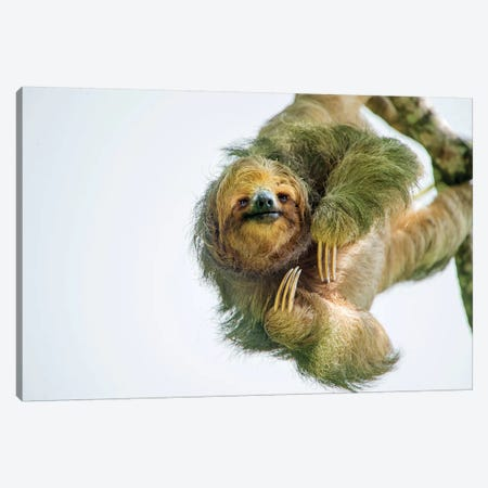 Three-Toed Sloth, Sarapiqui, Heredia Province, Costa Rica Canvas Print #PIM13926} by Panoramic Images Canvas Artwork