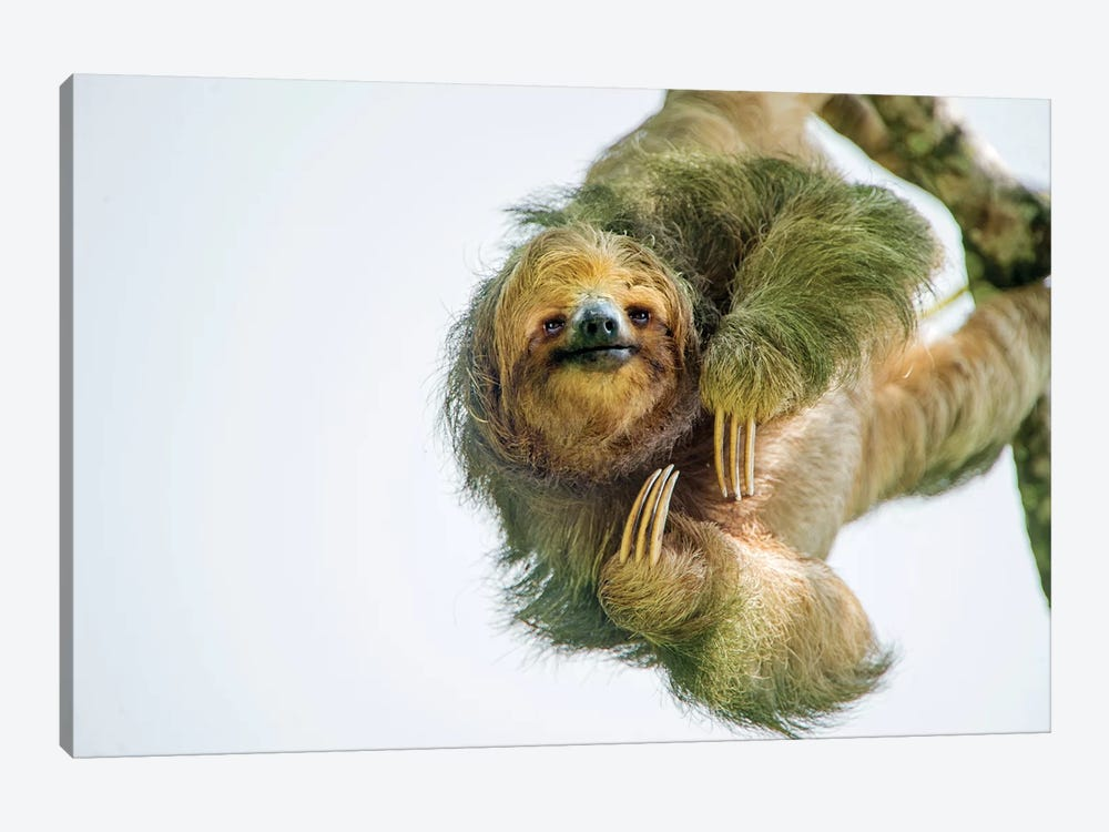 Three-Toed Sloth, Sarapiqui, Heredia Province, Costa Rica by Panoramic Images 1-piece Canvas Artwork
