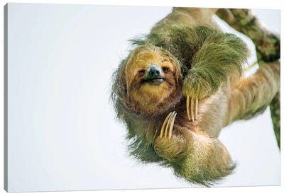 Three-Toed Sloth, Sarapiqui, Heredia Province, Costa Rica Canvas Art Print