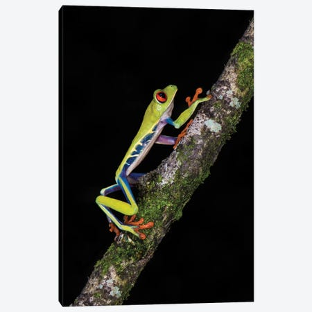 Red-Eyed Tree Frog, Sarapiqui, Heredia Province, Costa Rica Canvas Print #PIM13927} by Panoramic Images Canvas Artwork
