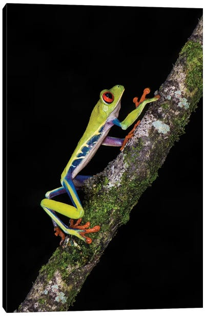 Red-Eyed Tree Frog, Sarapiqui, Heredia Province, Costa Rica Canvas Art Print