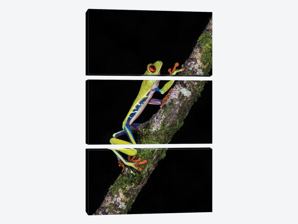 Red-Eyed Tree Frog, Sarapiqui, Heredia Province, Costa Rica by Panoramic Images 3-piece Canvas Art Print