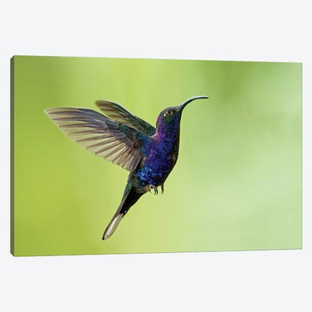 Violet Sabrewing, Savegre, Puntarenas Province, Costa Rica Canvas Print #PIM13928} by Panoramic Images Canvas Print