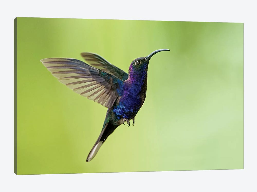 Violet Sabrewing, Savegre, Puntarenas Province, Costa Rica 1-piece Canvas Artwork
