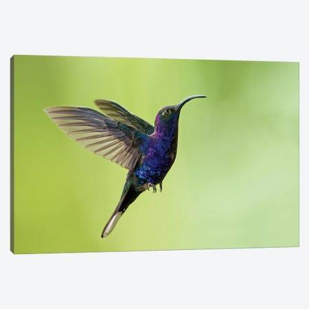Violet Sabrewing, Savegre, Puntarenas Province, Costa Rica Canvas Print #PIM13928} by Panoramic Images Canvas Print