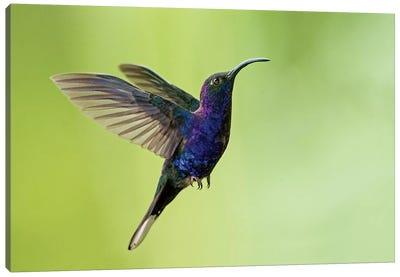 Violet Sabrewing, Savegre, Puntarenas Province, Costa Rica Canvas Art Print