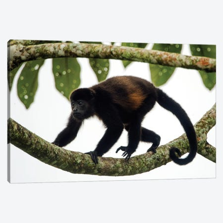 Black Howler Monkey, Sarapiqui, Heredia Province, Costa Rica Canvas Print #PIM13929} by Panoramic Images Art Print