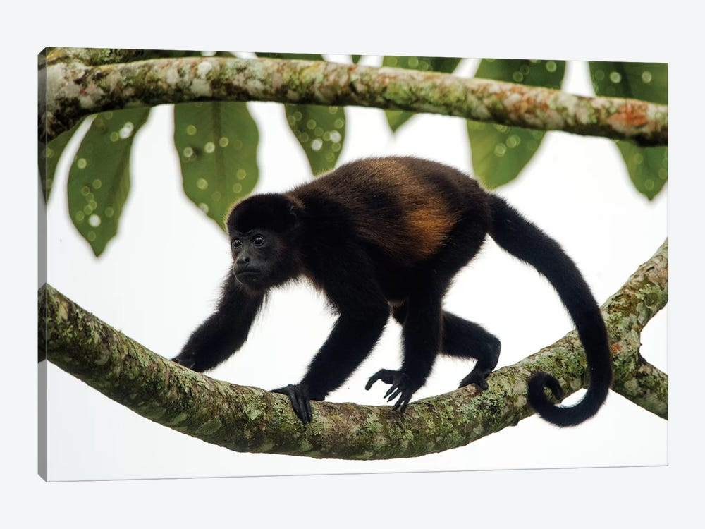 Black Howler Monkey, Sarapiqui, Heredia Province, Costa Rica 1-piece Art Print