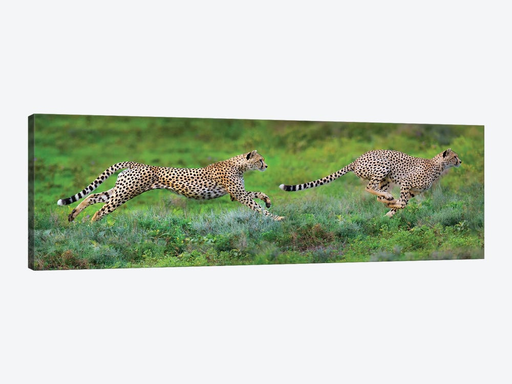 Cheetahs Hunting, Ngorongoro Conservation Area, Crater Highlands, Arusha Region, Tanzania by Panoramic Images 1-piece Canvas Print