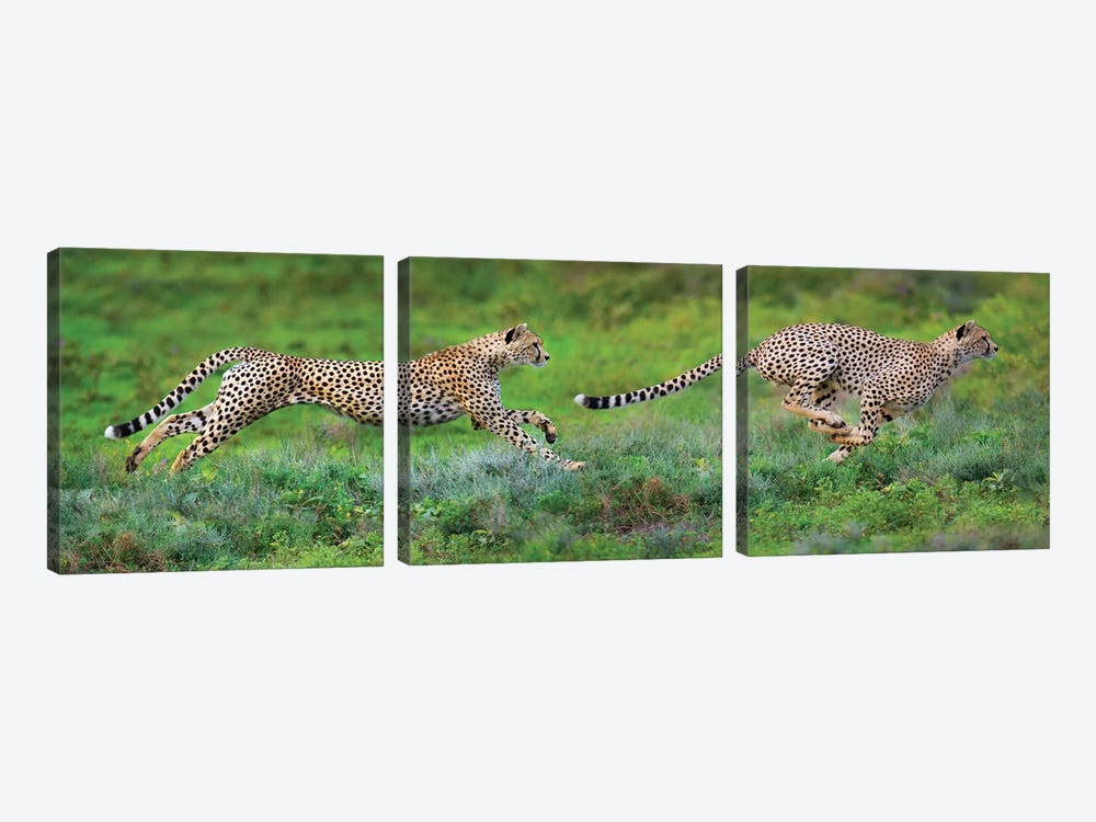 Cheetahs Hunting, Ngorongoro Conservation Area, Crater Highlands, Arusha Region, Tanzania by Panoramic Images 3-piece Canvas Art Print