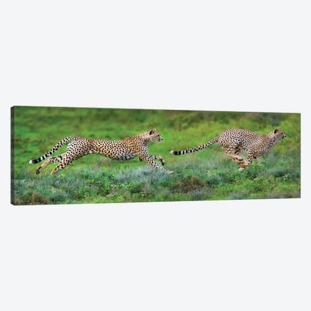 Cheetahs Hunting, Ngorongoro Conservation Area, Crater Highlands, Arusha Region, Tanzania Canvas Print #PIM13934} by Panoramic Images Canvas Print
