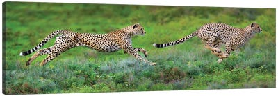 Cheetahs Hunting, Ngorongoro Conservation Area, Crater Highlands, Arusha Region, Tanzania Canvas Art Print