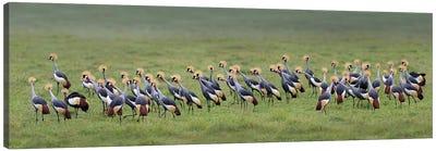 Crowned Cranes, Ngorongoro Conservation Area, Crater Highlands, Arusha Region, Tanzania Canvas Print #PIM13935