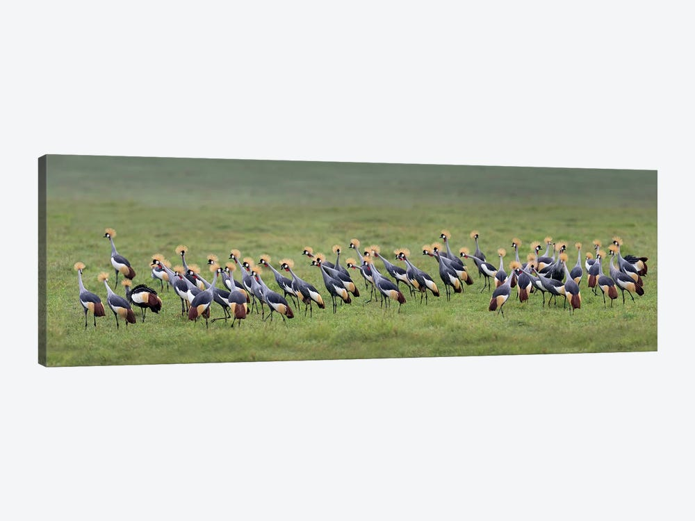 Crowned Cranes, Ngorongoro Conservation Area, Crater Highlands, Arusha Region, Tanzania by Panoramic Images 1-piece Canvas Wall Art