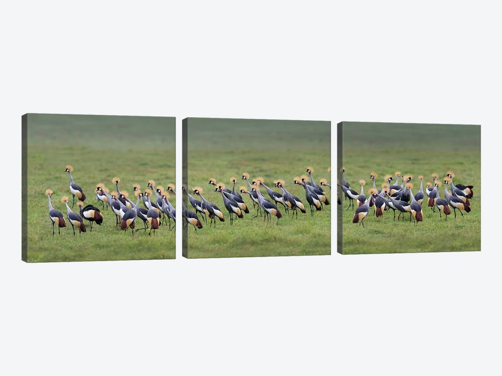 Crowned Cranes, Ngorongoro Conservation Area, Crater Highlands, Arusha Region, Tanzania by Panoramic Images 3-piece Canvas Artwork