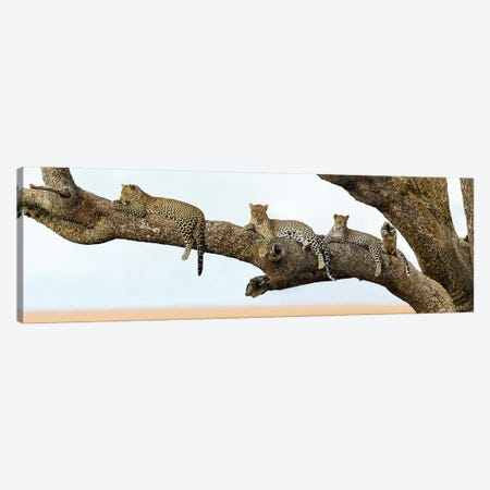 Leopard Family, Serengeti National Park, Tanzania Canvas Print #PIM13936} by Panoramic Images Art Print