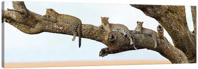 Leopard Family, Serengeti National Park, Tanzania Canvas Print #PIM13936