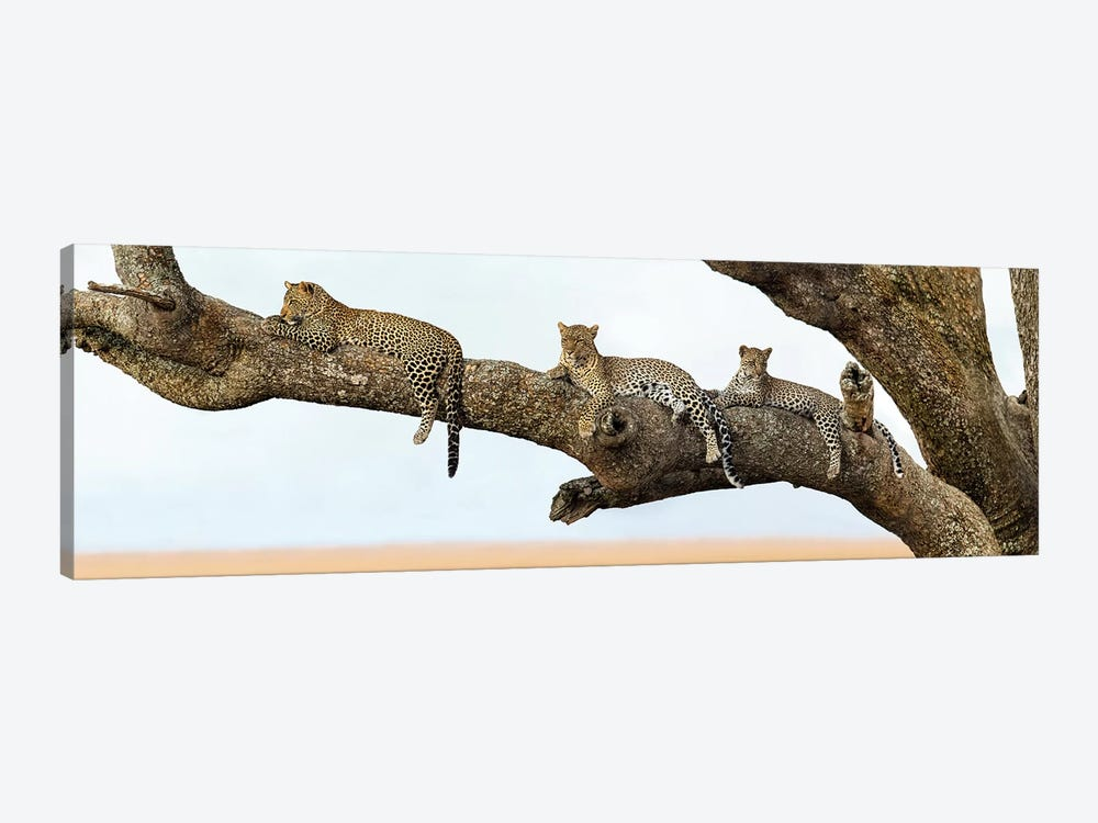 Leopard Family, Serengeti National Park, Tanzania by Panoramic Images 1-piece Art Print