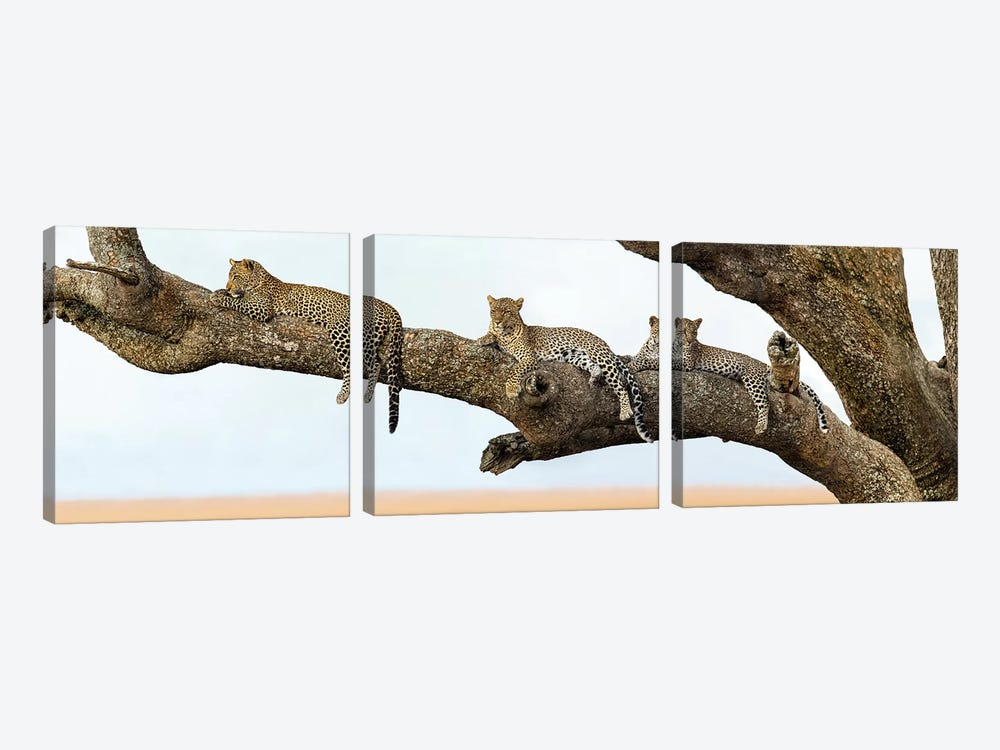 Leopard Family, Serengeti National Park, Tanzania by Panoramic Images 3-piece Canvas Art Print