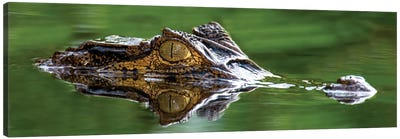 Spectacled Caiman, Costa Rica Canvas Art Print