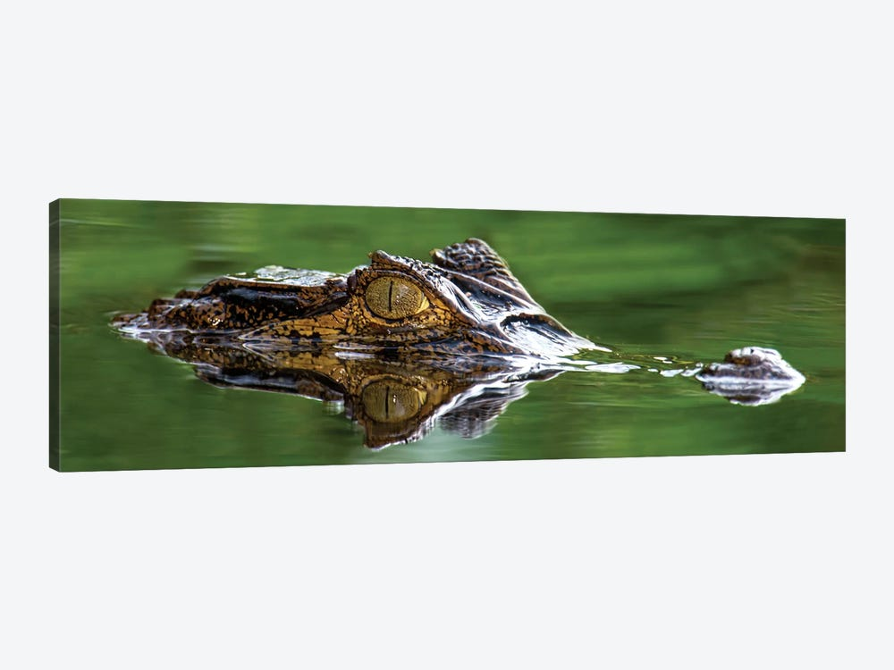 Spectacled Caiman, Costa Rica by Panoramic Images 1-piece Canvas Artwork