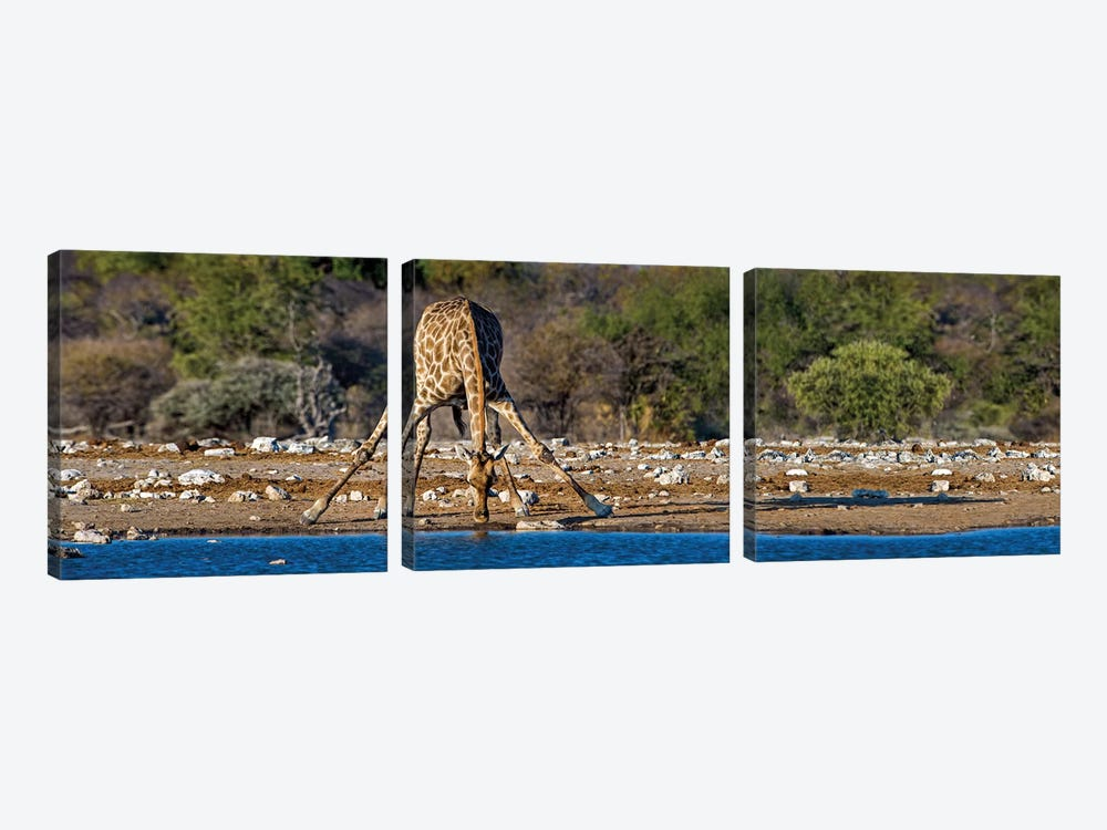 Giraffe At A Watering Hole II, Etosha National Park, Namibia by Panoramic Images 3-piece Canvas Wall Art