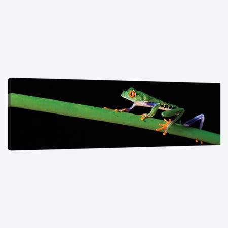 Red-Eyed Tree Frog, Costa Rica Canvas Print #PIM13942} by Panoramic Images Canvas Art Print