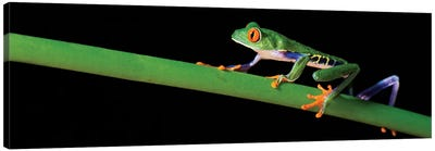 Red-Eyed Tree Frog, Costa Rica Canvas Art Print
