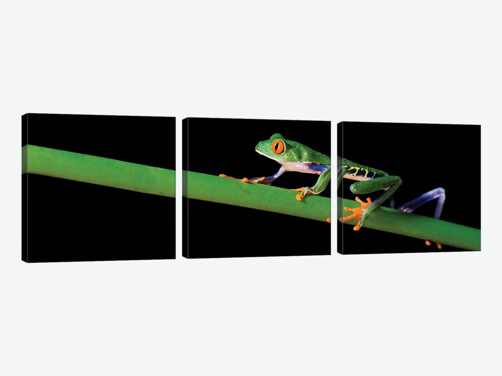 Red-Eyed Tree Frog, Costa Rica by Panoramic Images 3-piece Canvas Artwork